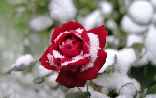 Winter Deck Gardens Christmas Rose